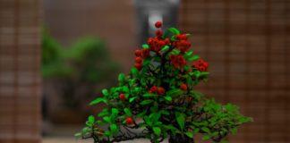 la culture de bonsai